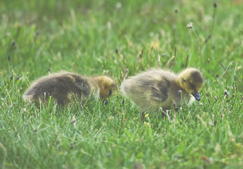 baby-ducks2